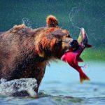 kamchatka-bear[1]